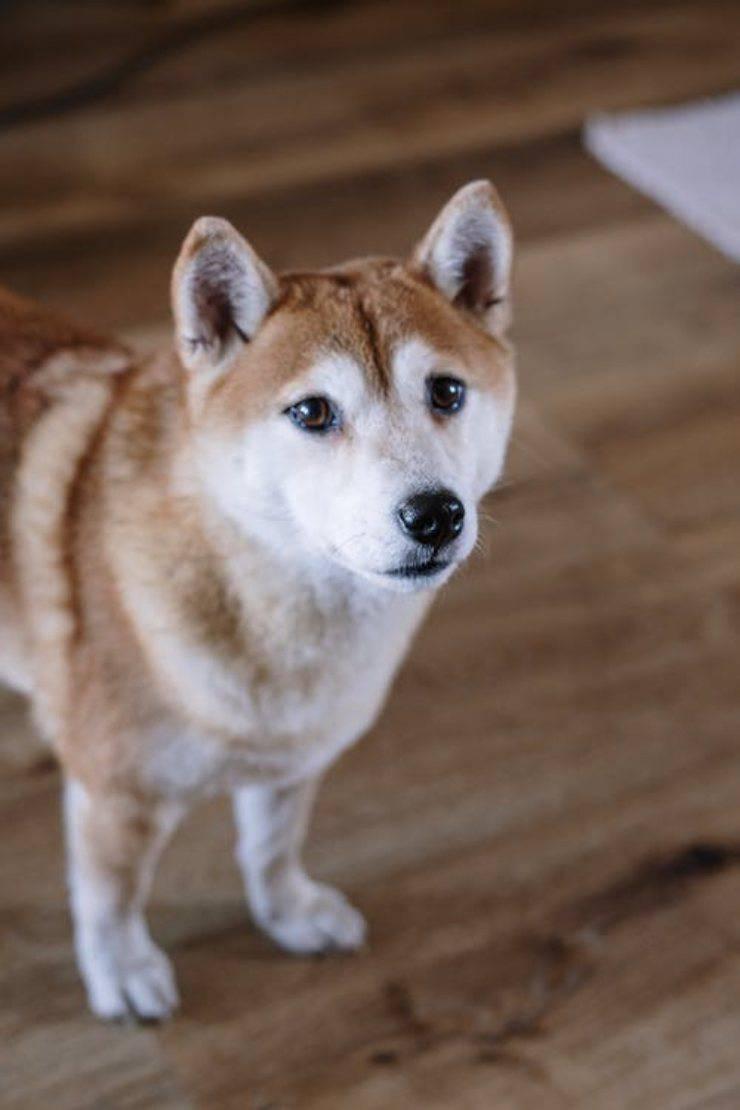 Hokkaido cucciolo