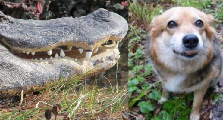 Alligatore attacca cane