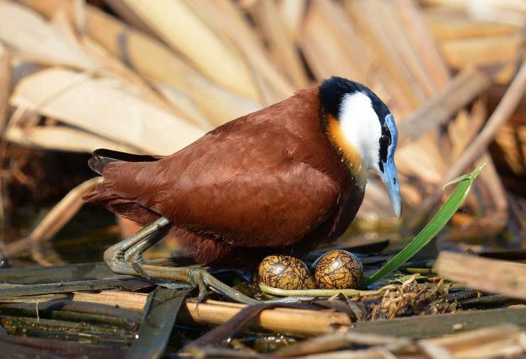 Jacana africana nido