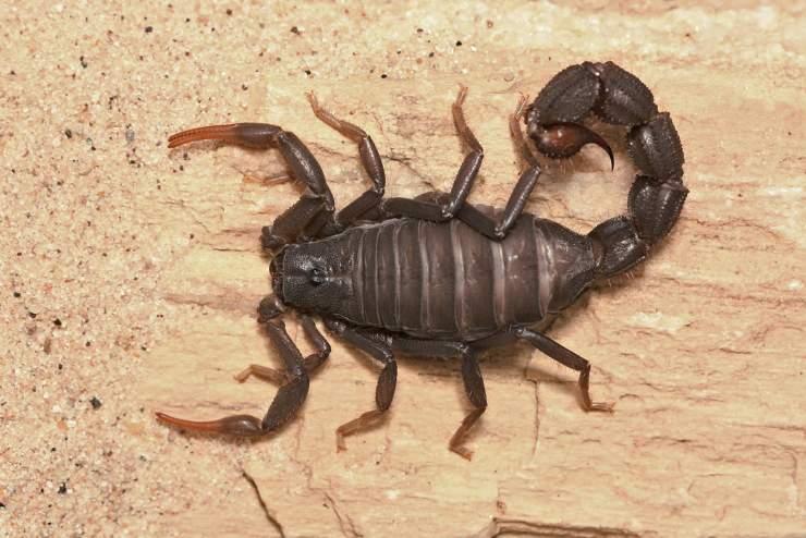 Parabuthus Transvaalicus scorpione