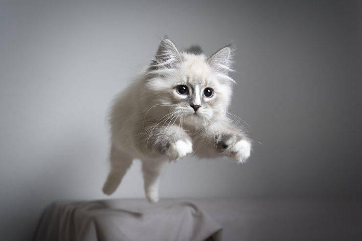 perché il gatto miagola prima di saltare