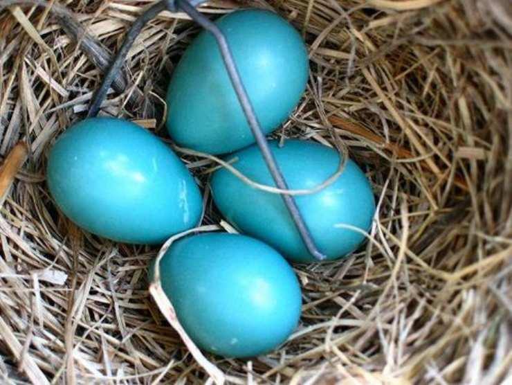 Pettirosso americano uova