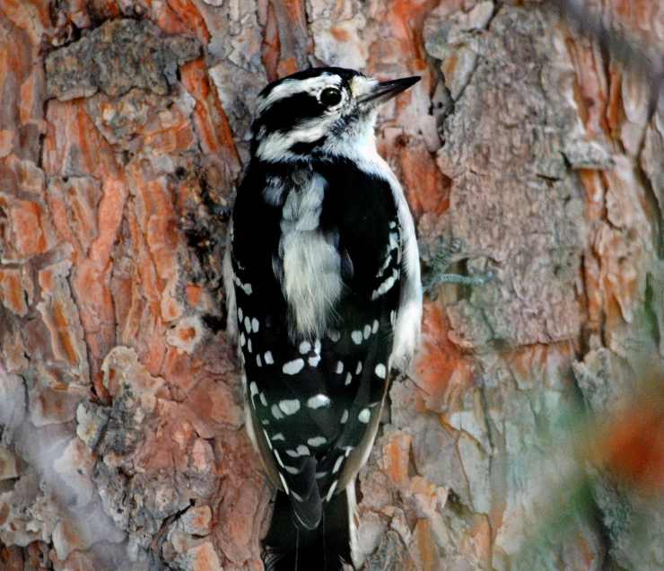 Picchio lanuginoso femmina Pinterest