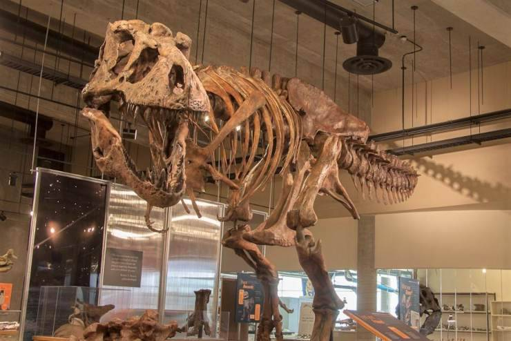 scheletro fossile dinosauro