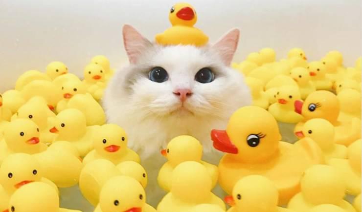 gatto con occhi blu