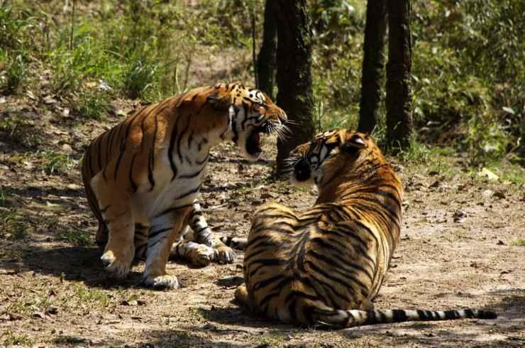 Tigri della Cina del sud