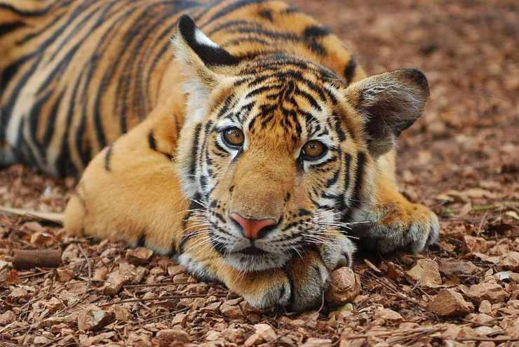 Tigre (Foto Flickr)