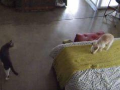 Gatto insegna cane abbaiare