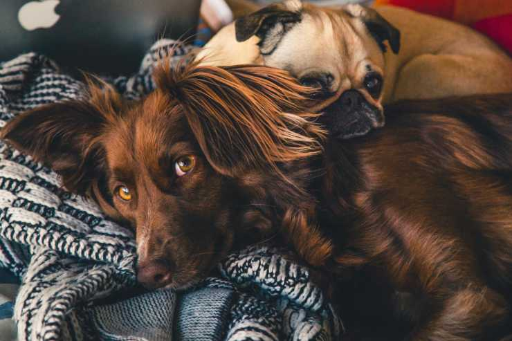 Razze di cane simili