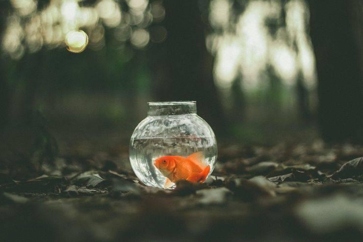 Pesce rosso contro betta