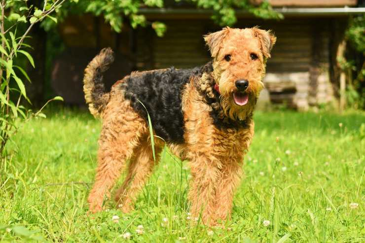 Cani anallergici: Airedale Terrier