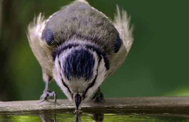 L'uccellino che beve nella ciotola (Foto Pixabay)