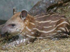 Tapiro cucciolo