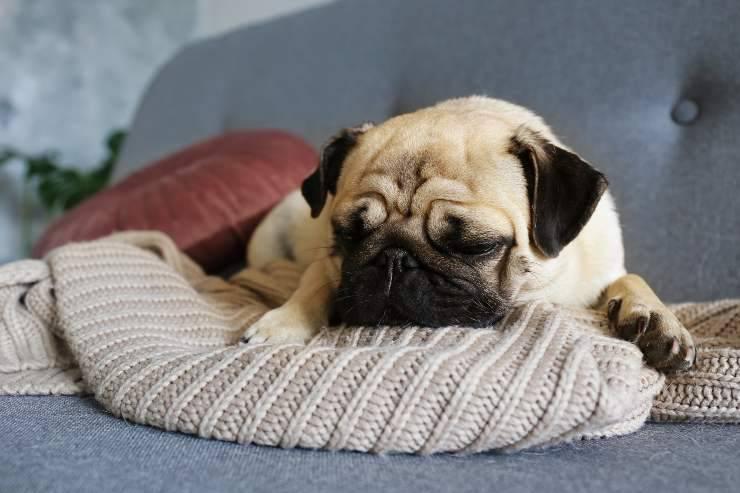apnea notturna nel cane