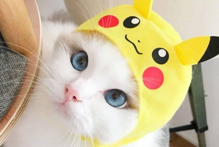 gatto bianco occhi blu