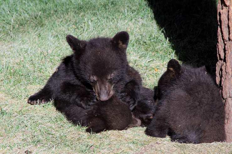 Trump cuccioli orso