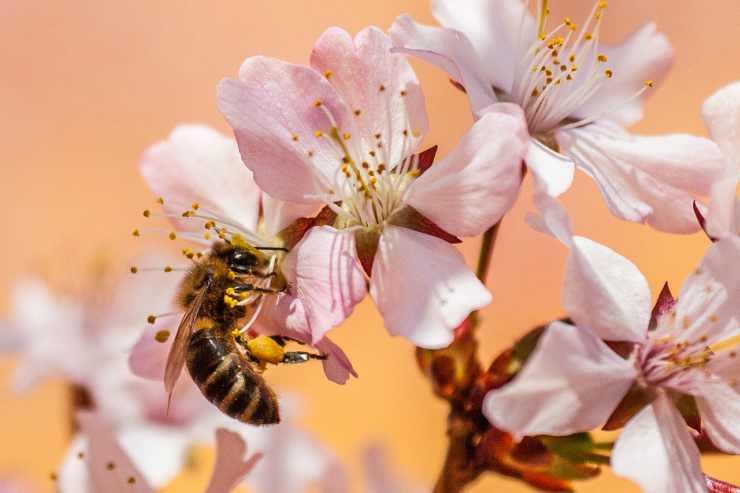 Ape sui fiori di primavera Facebook