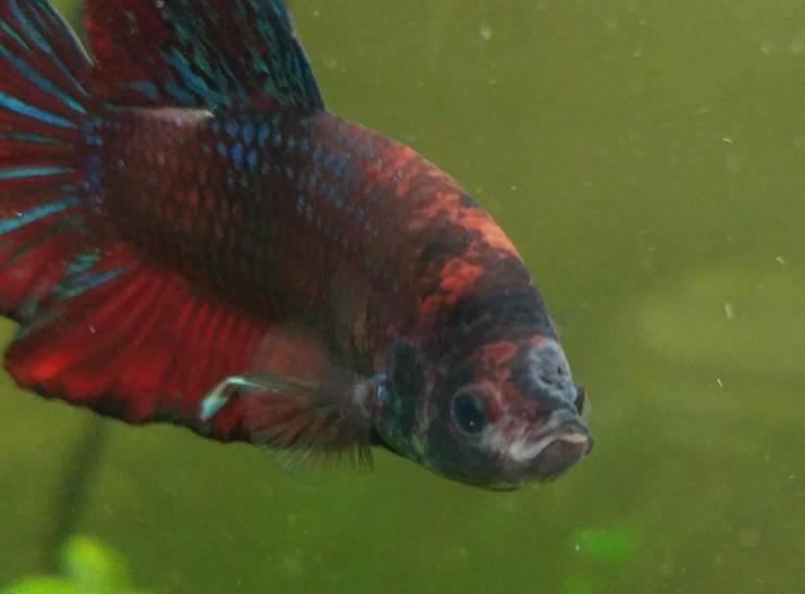 Malattia del buco: cause e rimedi di questa malattia dei pesci d'acquario