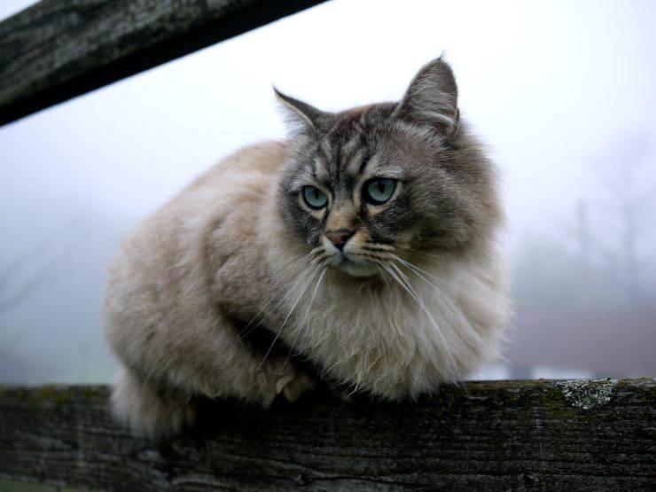 Adottare un gatto persiano