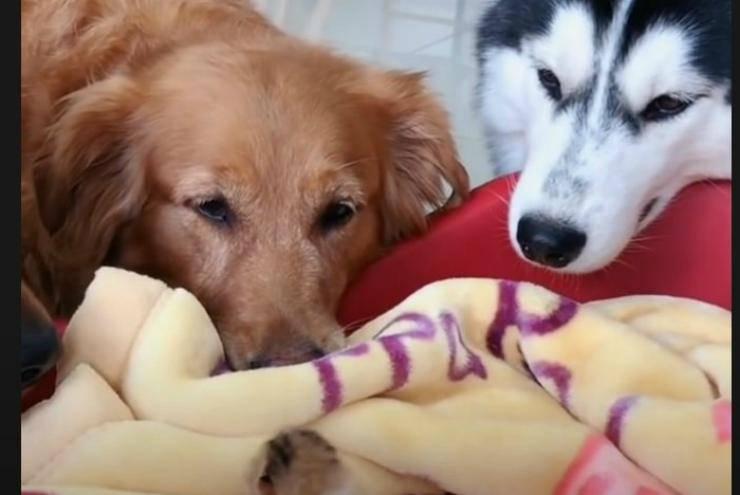 L'husky e il Golden Retriever (Foto video)