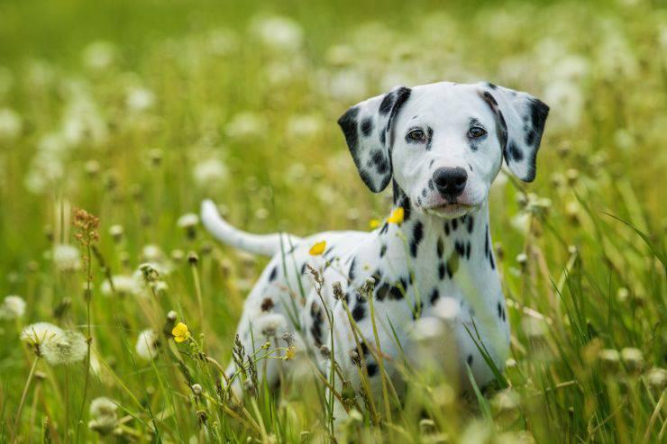 Come applicare l'antiparassitario al cane
