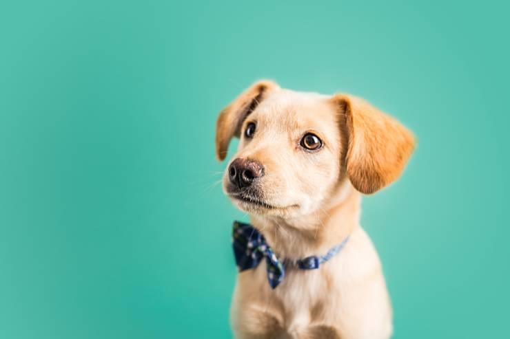 razze di cani più intelligenti
