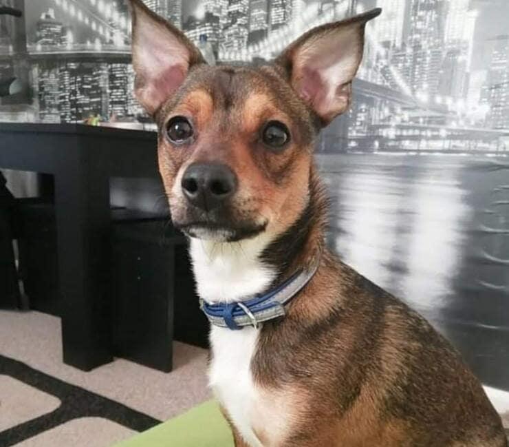 cane ingoia bastone lungo la metà del suo corpo