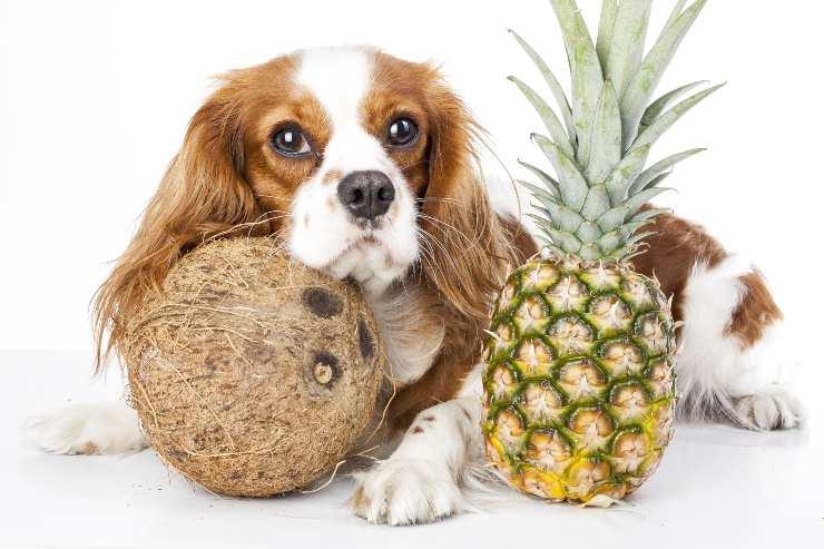 cane con cocco e ananas