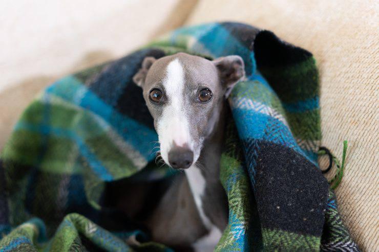 cane sotto coperta