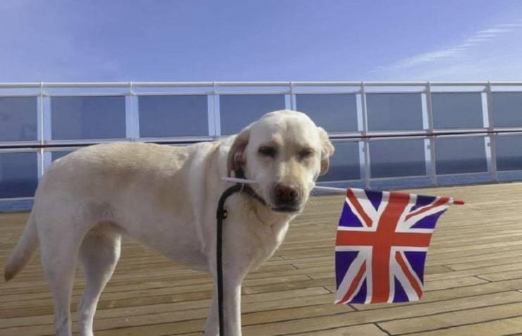 Cane bandiera inglese