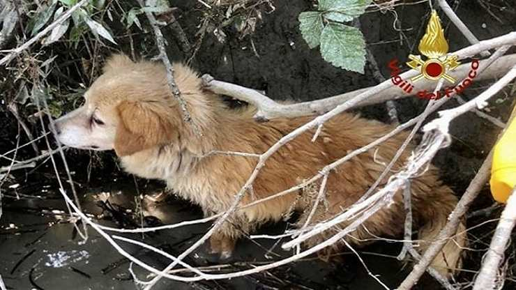 cane collare ramo