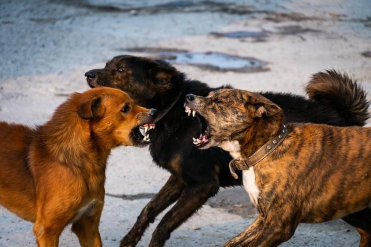 Cani che litigano di più