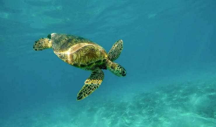 La tartaruga marina che nuota (Foto video)