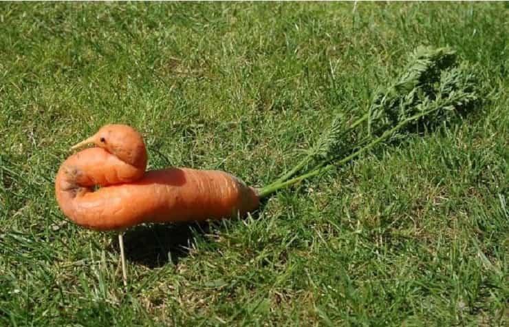 carota pavone