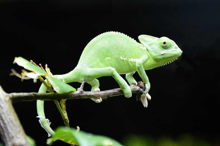 Il verde vivace del camaleonte (Foto Pixabay)