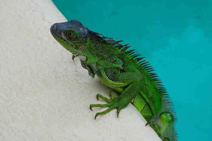 come lavare l iguana