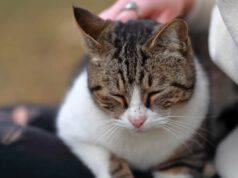 comportamenti del gatto maschio
