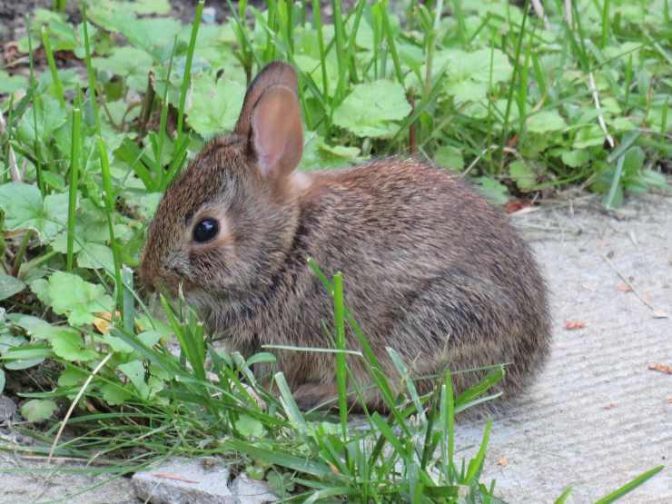 Prendersi cura di un coniglio selvatico