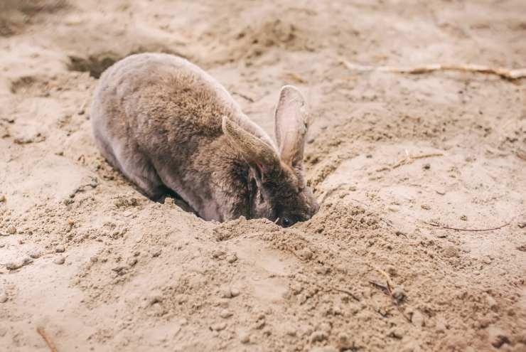 Il coniglio nano scava