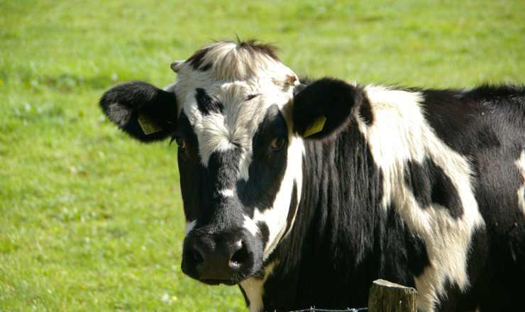 La mucca in primo piano (Foto Pixabay)