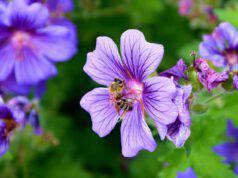 Le api sul fiore (Foto Pixabay)