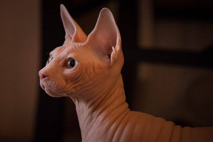Sphynx in estate