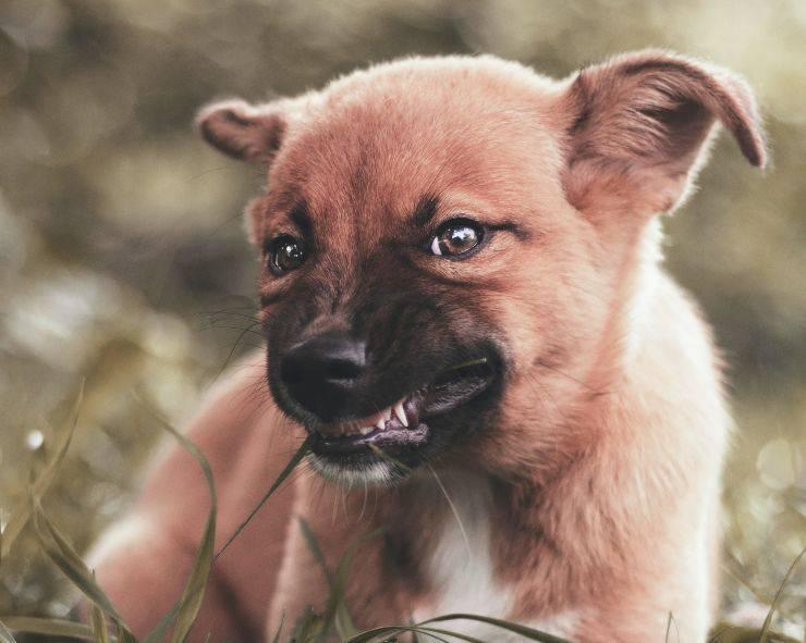Cane è aggressivo quando mangia