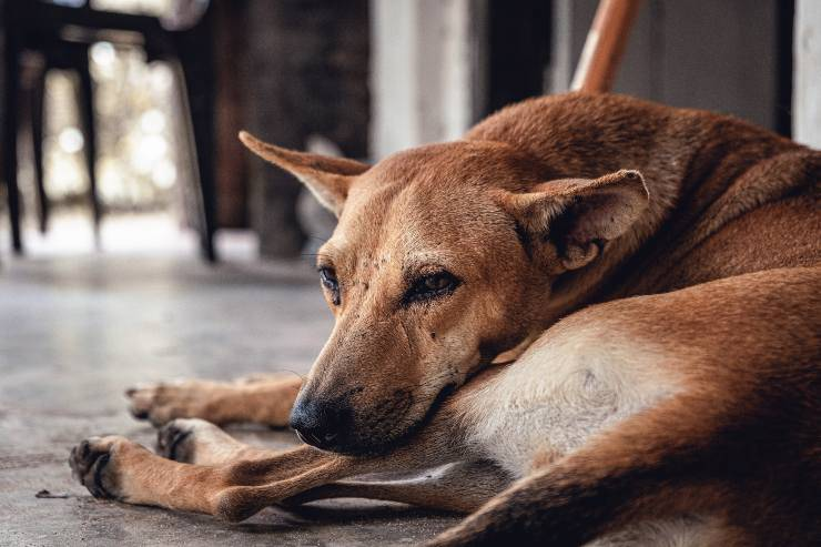Antiparassitario sul cane