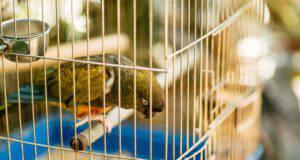 diarrea nel pappagallo