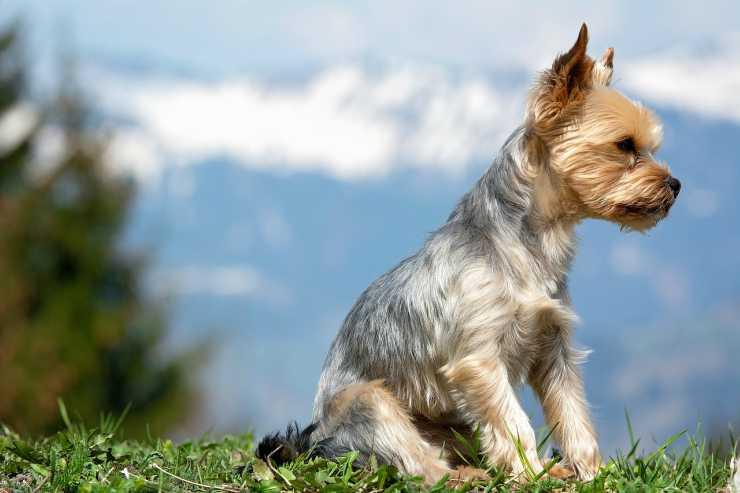 Il cagnolino e lo sguardo di attesa (foto Pixabay)