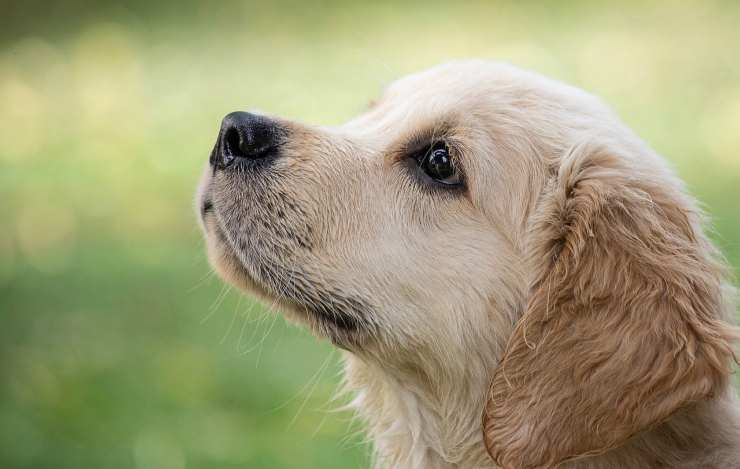 Un cucciolo di Golden retriever (Foto Pixabay)