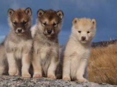 Trump cuccioli orsi lupi