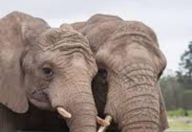 due elefanti eredi