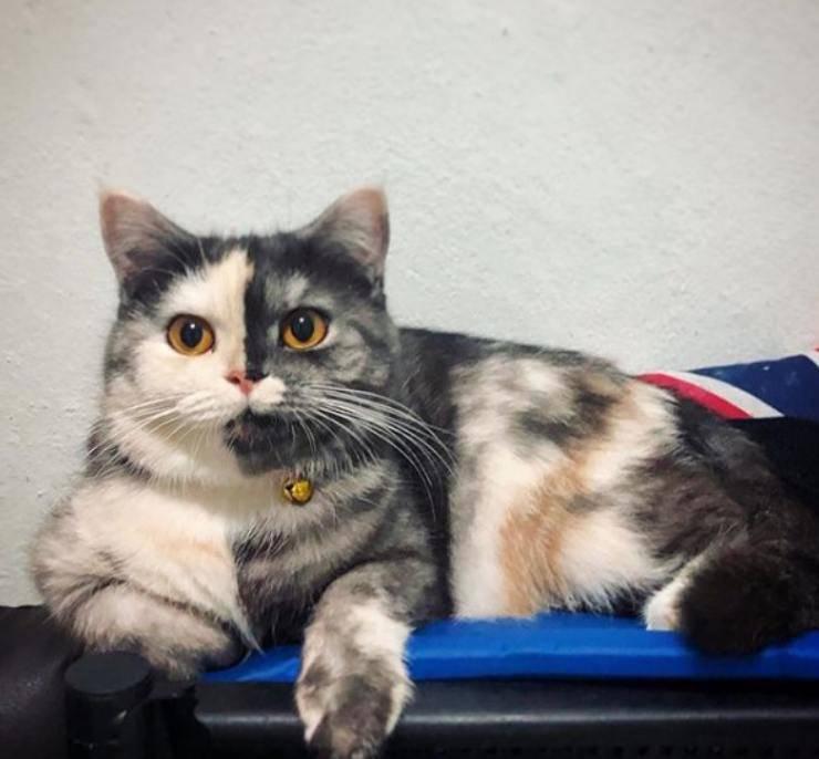 Gatto muso bicolore